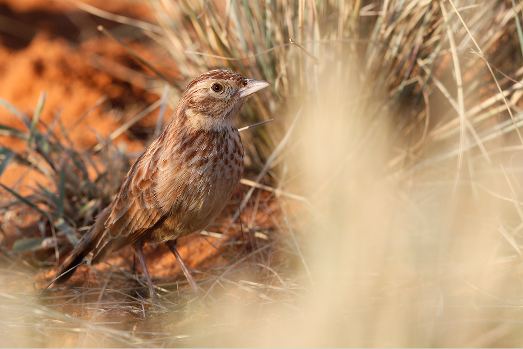 Eastern-Clapper-Lark—Tswalu-Game-Reserve,-South-Africa—14-June-2015-3-SMSH