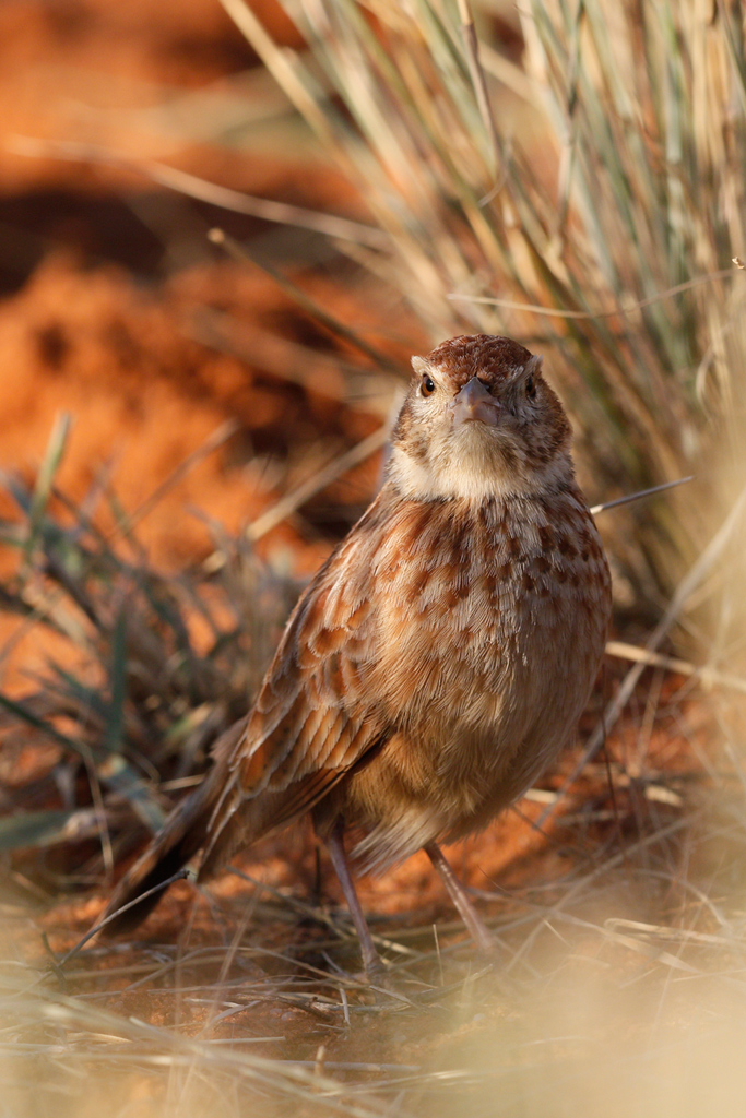 Eastern-Clapper-Lark—Tswalu-Game-Reserve,-South-Africa—14-June-2015-8-SMSH