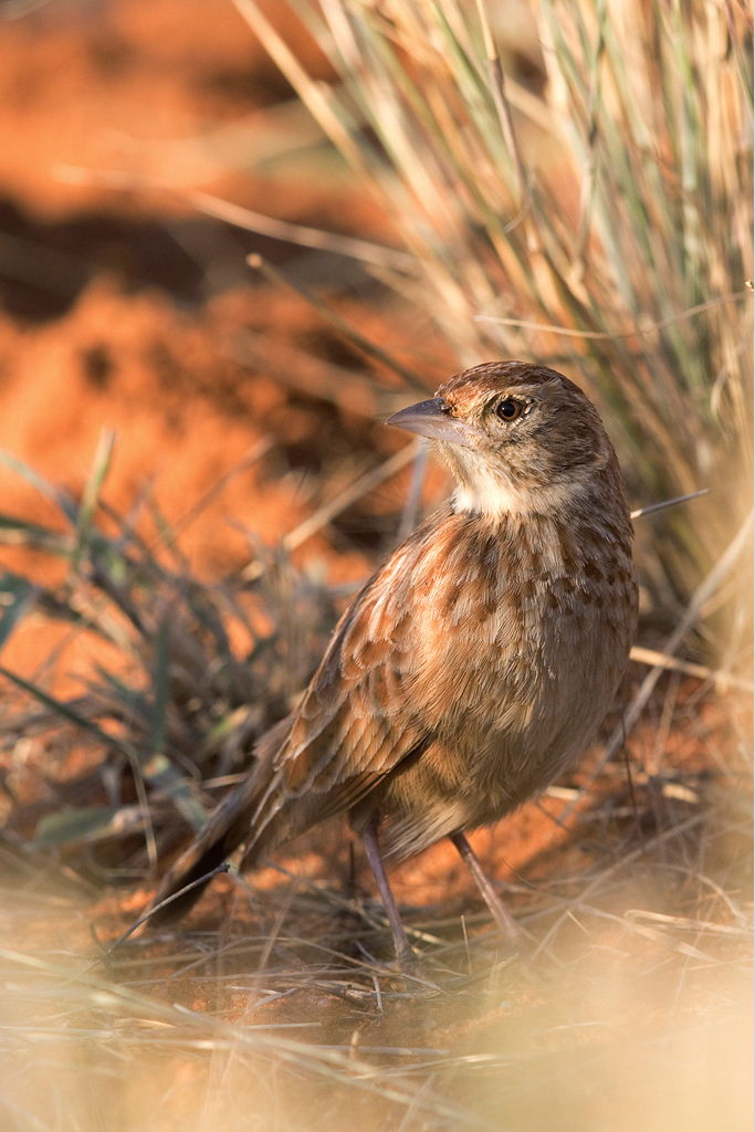 Eastern-Clapper-Lark—Tswalu-Game-Reserve,-South-Africa—15-June-2015-RAW