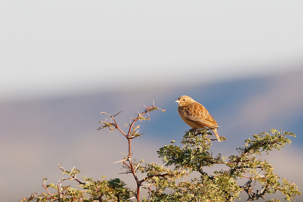 Eastern Clapper Lark / Tswalu Game Reserve, South Africa / 15 June 2015
