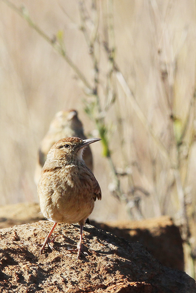 Eastern Long-billed Lark (male & female) / Suikerbosrand Nature Reserve, South Africa / 01 May 2014