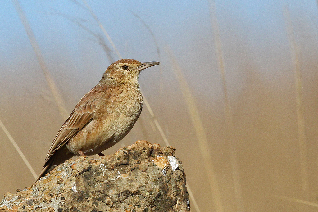 Eastern Long-billed Lark / Suikerbosrand Nature Reserve, South Africa / 01 May 2014