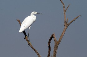 Little Egret / Roodeplaat Nature Reserve, South Africa / 26 June 2010