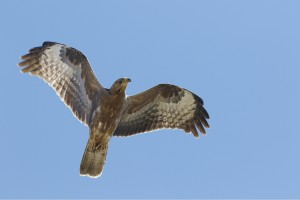 Special Birds / European Honey Buzzard / Llandudno, Cape Town