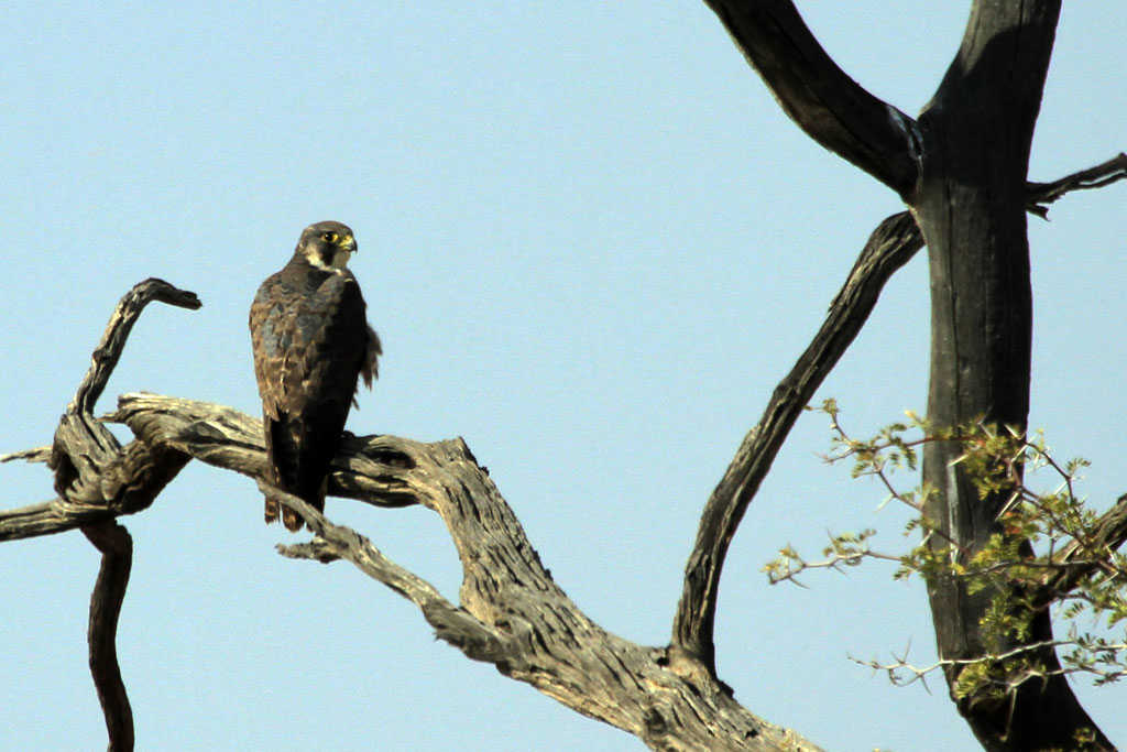 Peregrine Falcon / Augraabies Falls National Park, South Africa / 01 August 2012