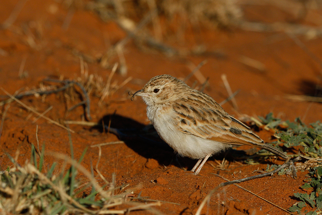 Fawn-coloured Lark