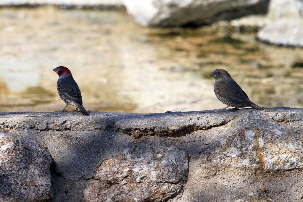 Red-headed Finch / Erongo Wilderness Camp, Central Namibia