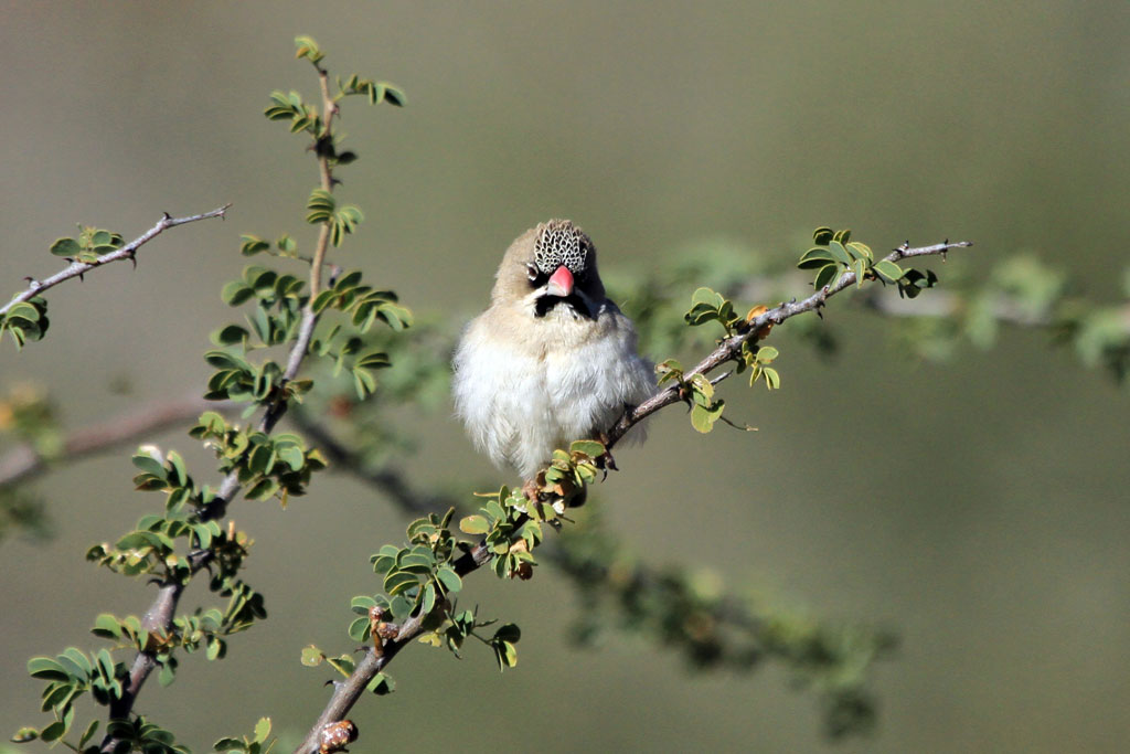 Scaly-feathered Finch / Zebra River Lodge, Southern Namibia