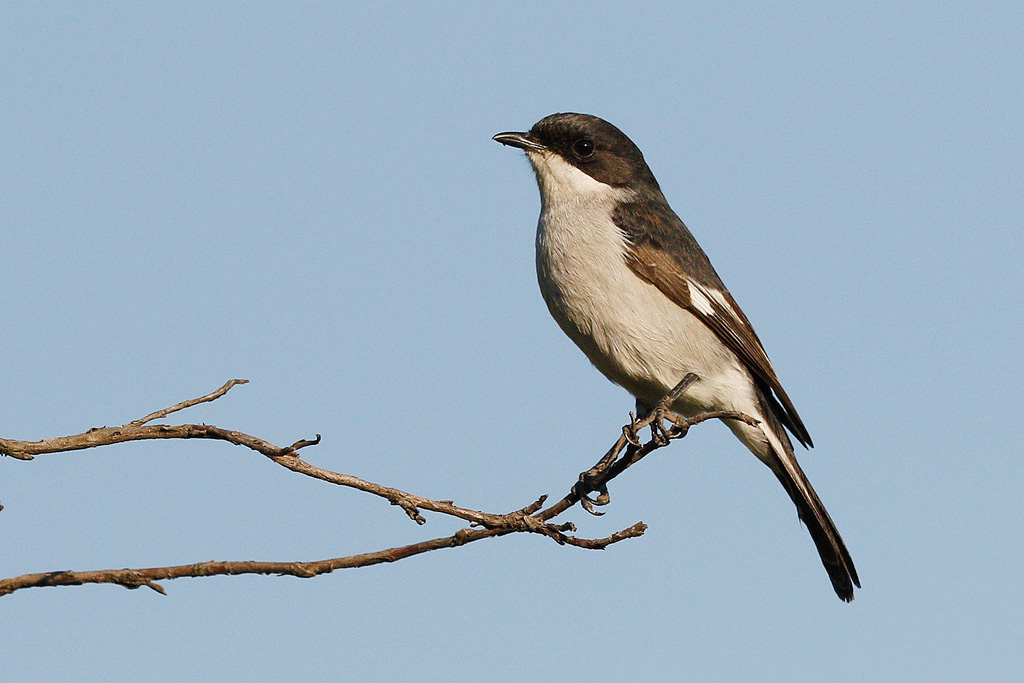 Fiscal Flycatcher / Montusi Mountain Lodge, Drakensberg, South Africa