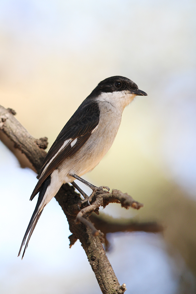 Fiscal Flycatcher / Suikerbosrand Nature Reserve, South Africa / 01 May 2014