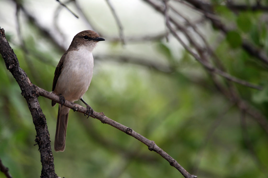 Marico Flycatcher (Mariquensis) / Pilansberg Game Reserve, South Africa