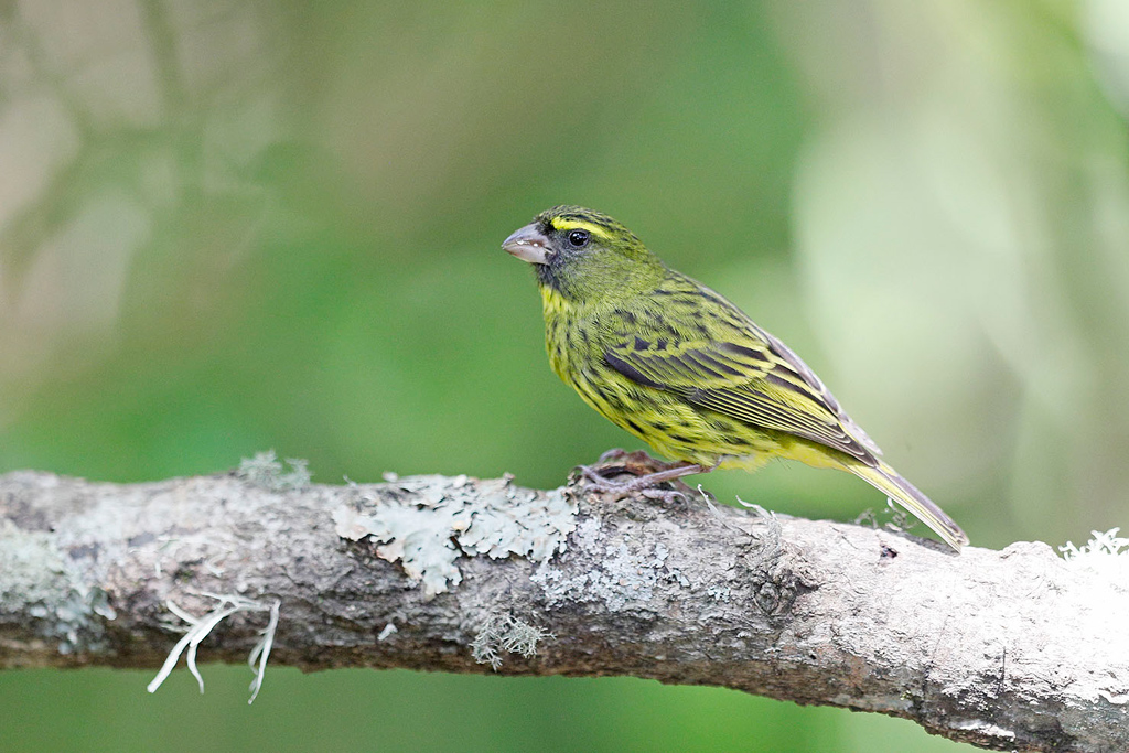 Forest Canary / Kurisa Moya, Magoebaskloof, Limpopo Province, South Africa / December 2017