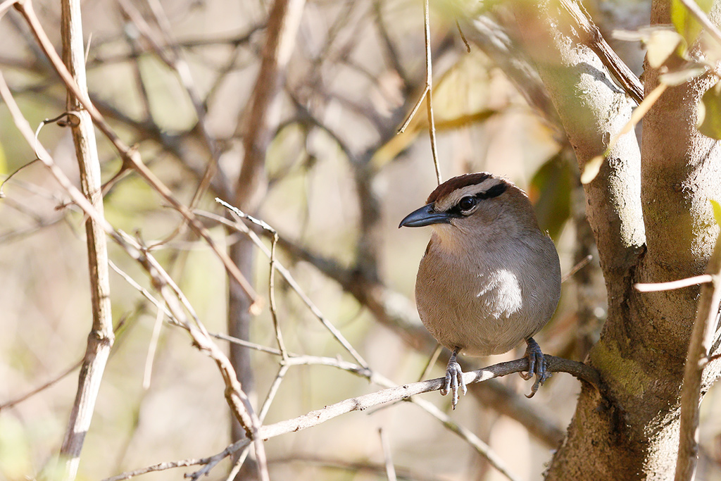 Brown-crowned Tchagra / Forest Creek Lodge, South Africa / 08 August 2015
