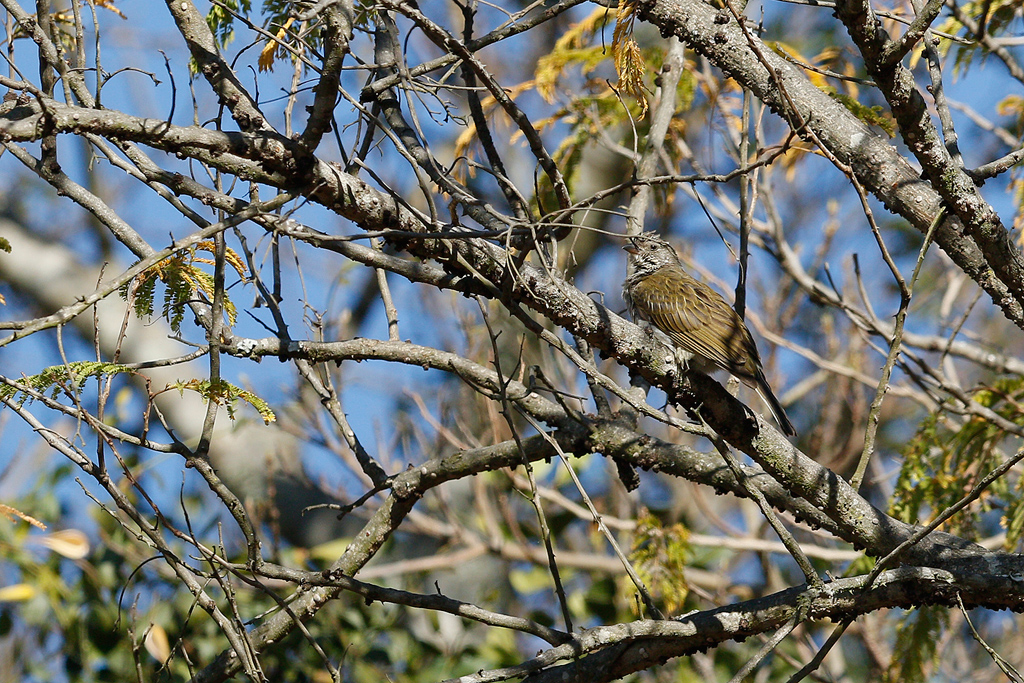Scaly-throated Honeyguide / Forest Creek Lodge, Mpumalanga, South Africa / 14 August 2015