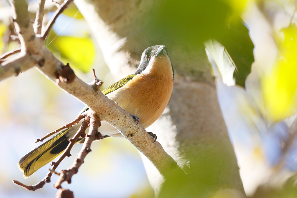 Olive Bush-shrike / Forest Creek Lodge, Mpumalanga, South Africa / 14 August 2015