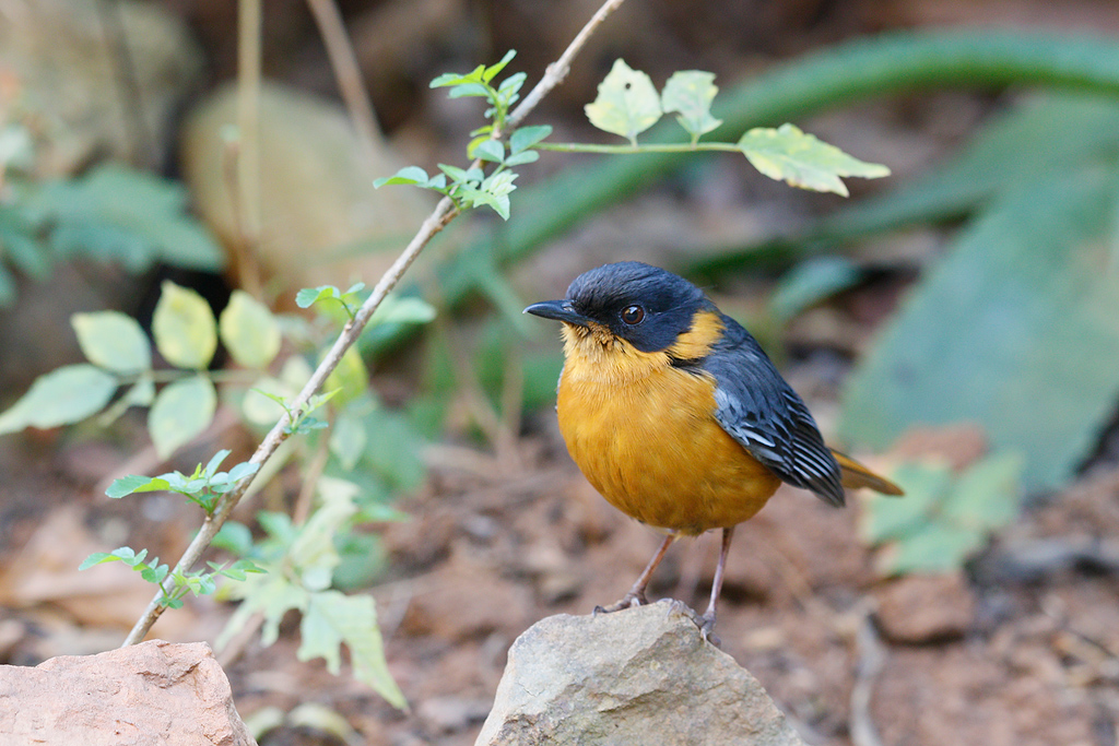 Chorister Robin chat / Forest Creek Lodge, Mpumalanga, South Africa / 14 August 2015