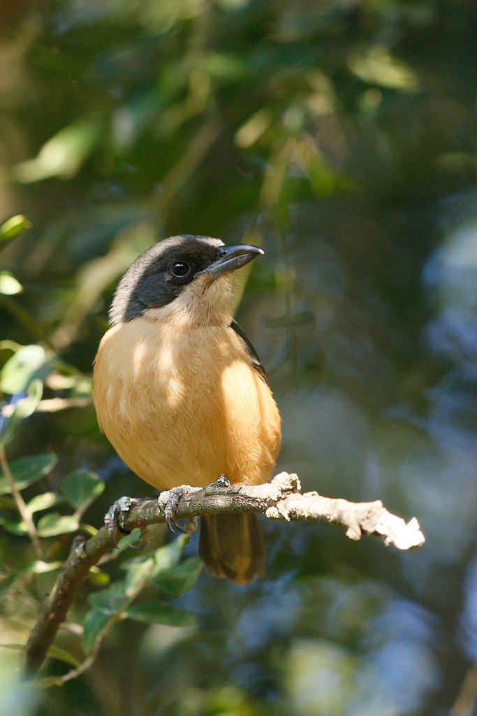 Southern Boubou / Forest Creek Lodge, Mpumalanga, South Africa / 14 August 2015