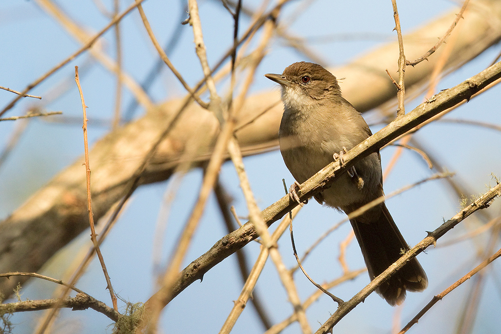 Terrestrial Brownbul / Forest Creek Lodge, South Africa / 10 August 2015