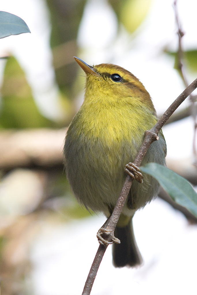 Yellow-throated Woodland Warbler / Forest Creek Lodge, Mpumalanga, South-Africa / 10 August 2015