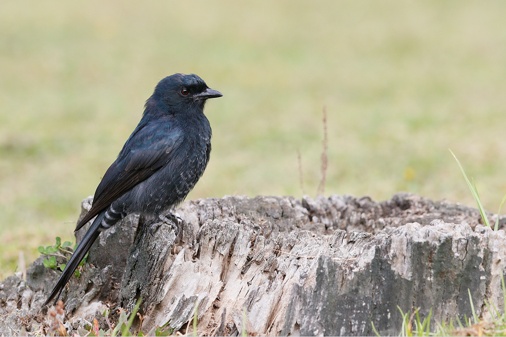 Fork-tailed Drongo / Underberg, KZN, South Africa / 16 April 2015