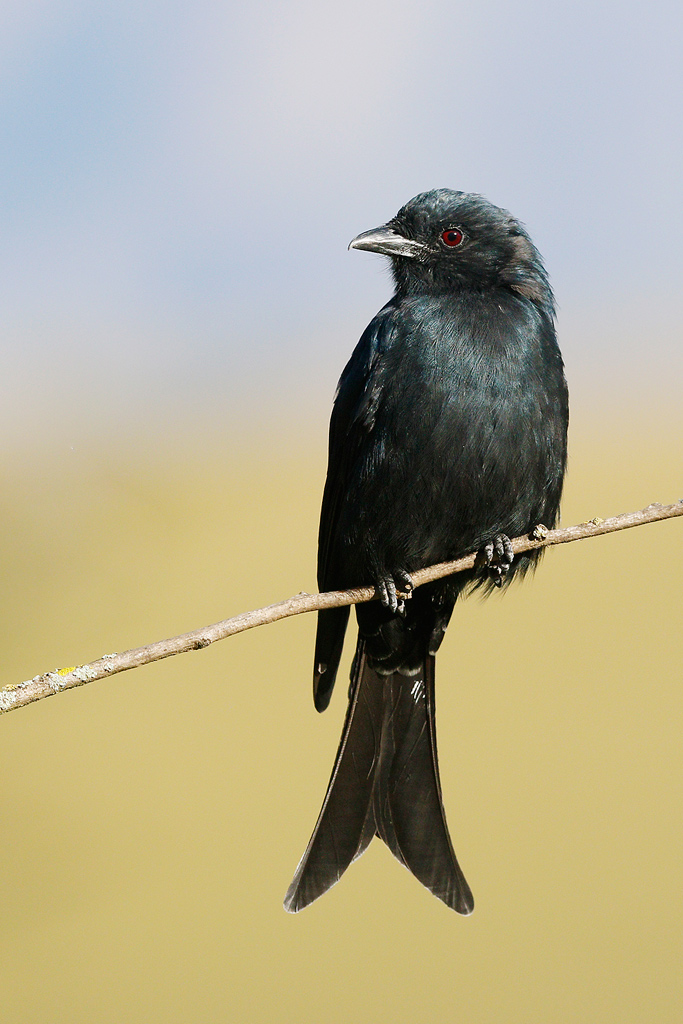 Fork-tailed Drongo / Castleburn, Underberg, KZN, South Africa / 16 April 2015