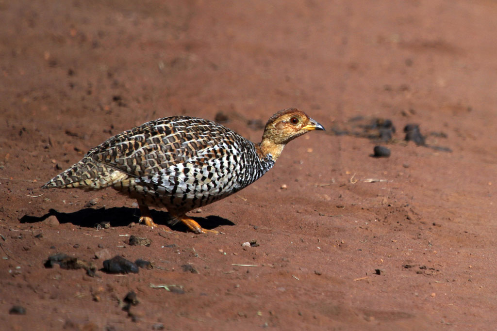 Coqui Francolin / Ezemvelo Nature Reserve, South Africa