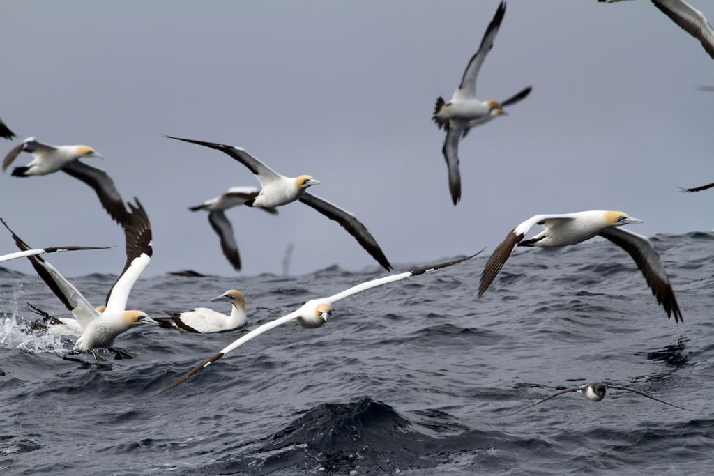 Cape Gannet / Cape Town Pelagic, South Africa