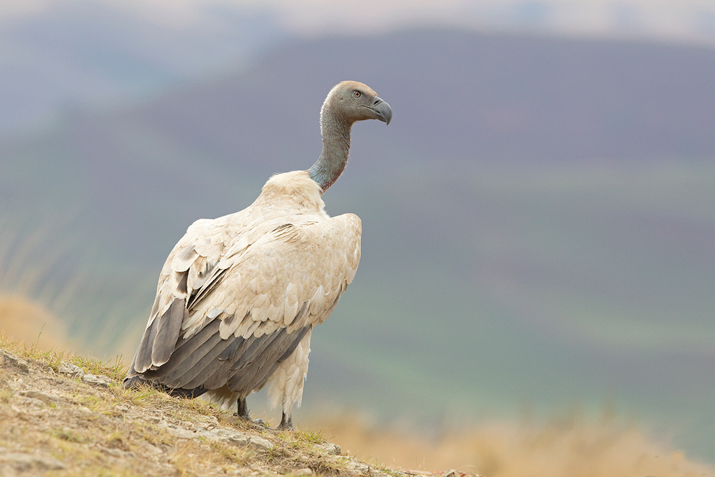 Cape Vulture / Giant's Castle, Central Drakensberg, KwaZulu Natal, South Africa / October 2017