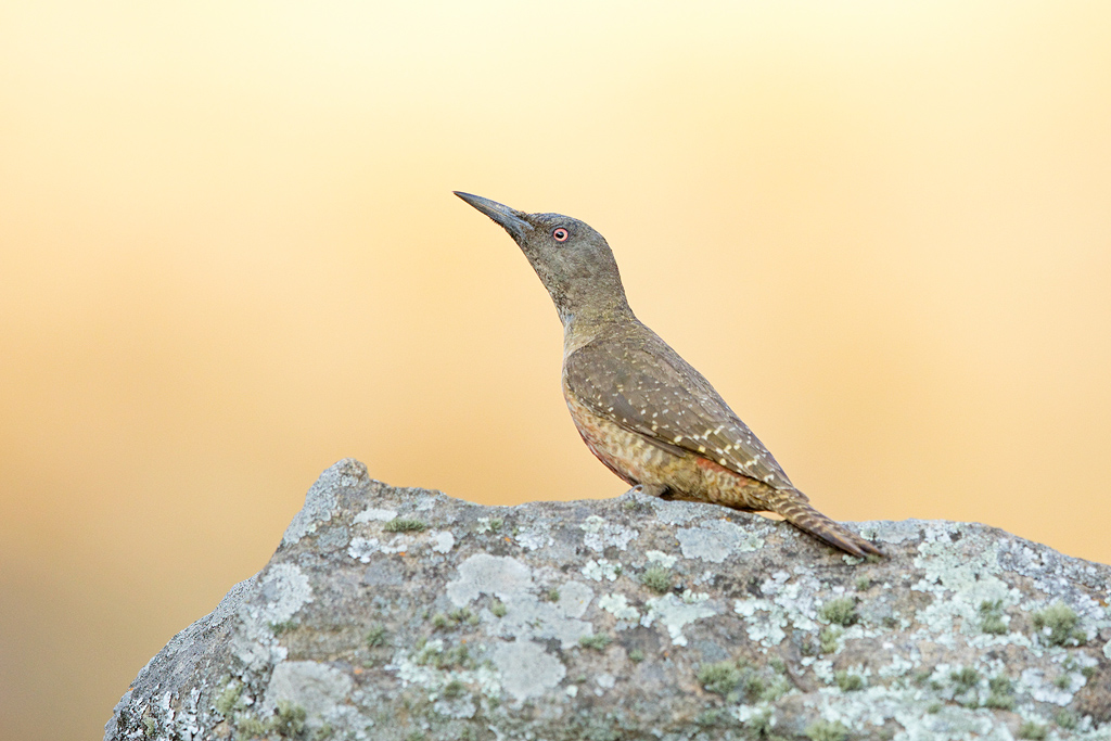 Ground Woodpecker / Giant's Castle, Central Drakensberg, South Africa / October 2017