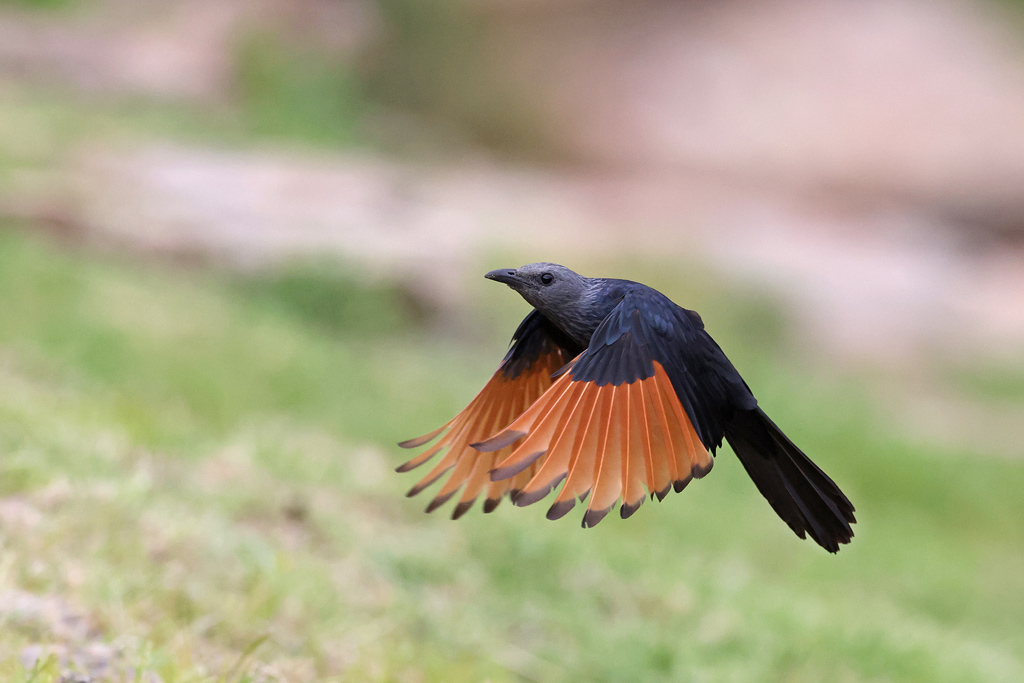Red-winged Starling / Giant's Castle, KZN, South Africa / December 2020