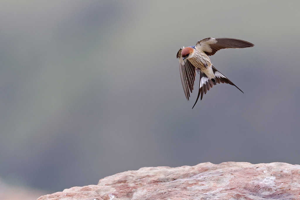Greater Striped Swallow / Giant's Castle, KZN, South Africa / December 2020