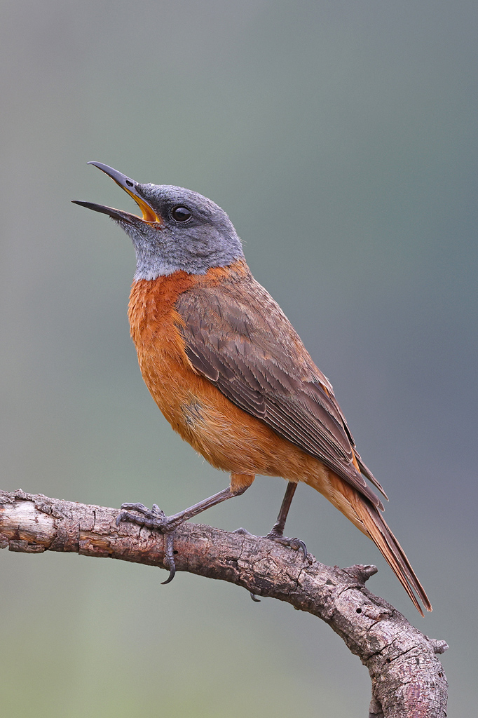 Cape Rock Thrush / Giant's Castle, KZN, South Africa / December 2020