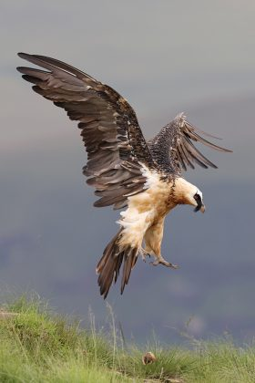 Bearded Vulture / Giant's Castle, KZN, South Africa / December 2020