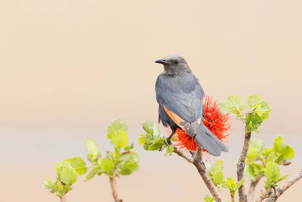 Red-winged Starling (female) / Giant's Castle, Central Drakensberg, South Africa / October 2017
