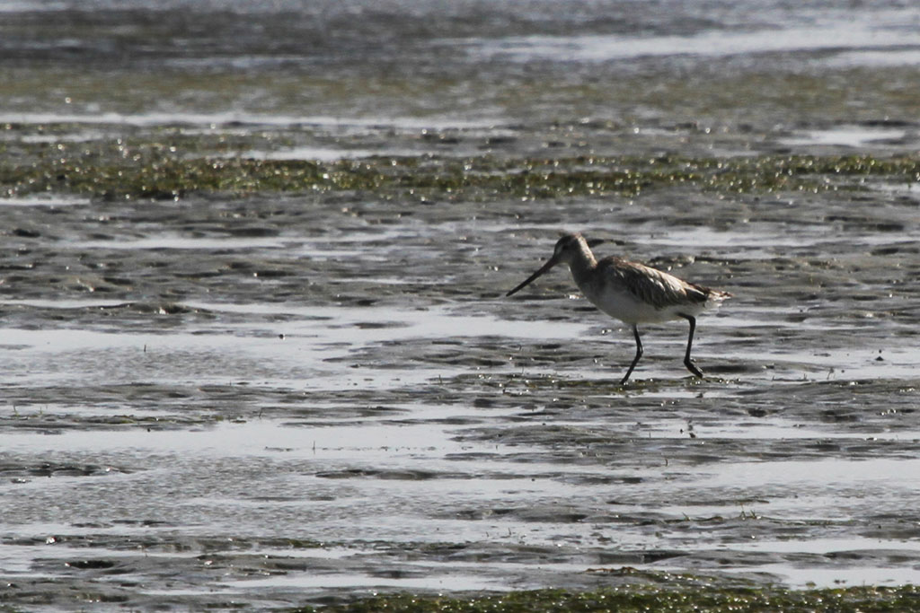 Bar-tailed Godwit / West Coast National Park, South Africa / 18 June 2011