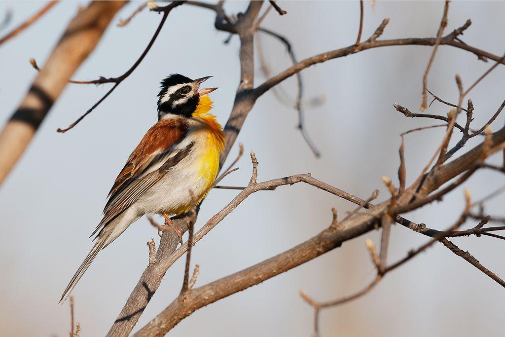 Golden-breasted Bunting /-Kololo-Game-Reserve,-Vaalwater, South Africa / 26 September 2015