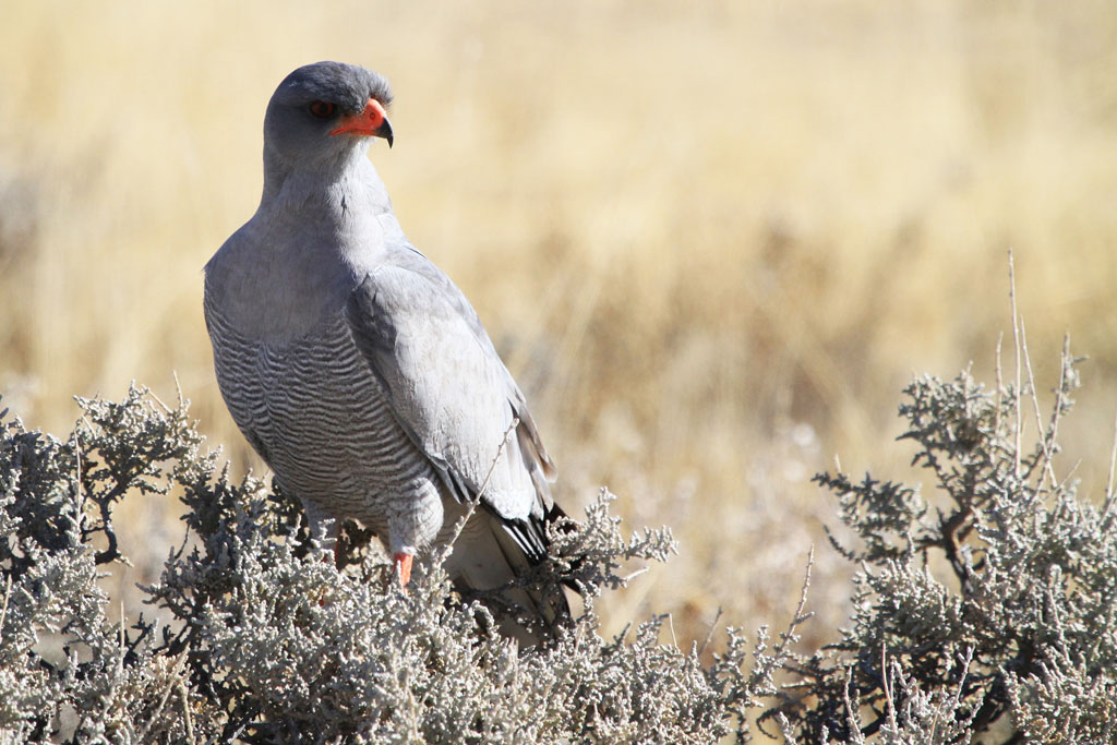 Southern Pale Chanting Goshawk / Etosha National Park, South Africa