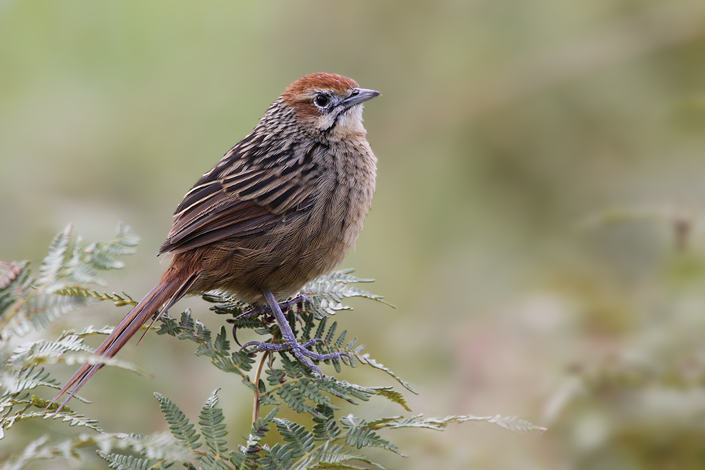 Grassbird, Cape (Tendele, Drakensberg) (& & & Side on) SM SH
