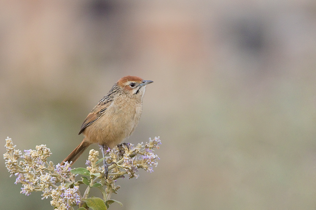 Cape Grassbird / Walkersons Hotel & Spa, Dullstroom, South Africa / 20 June 2015