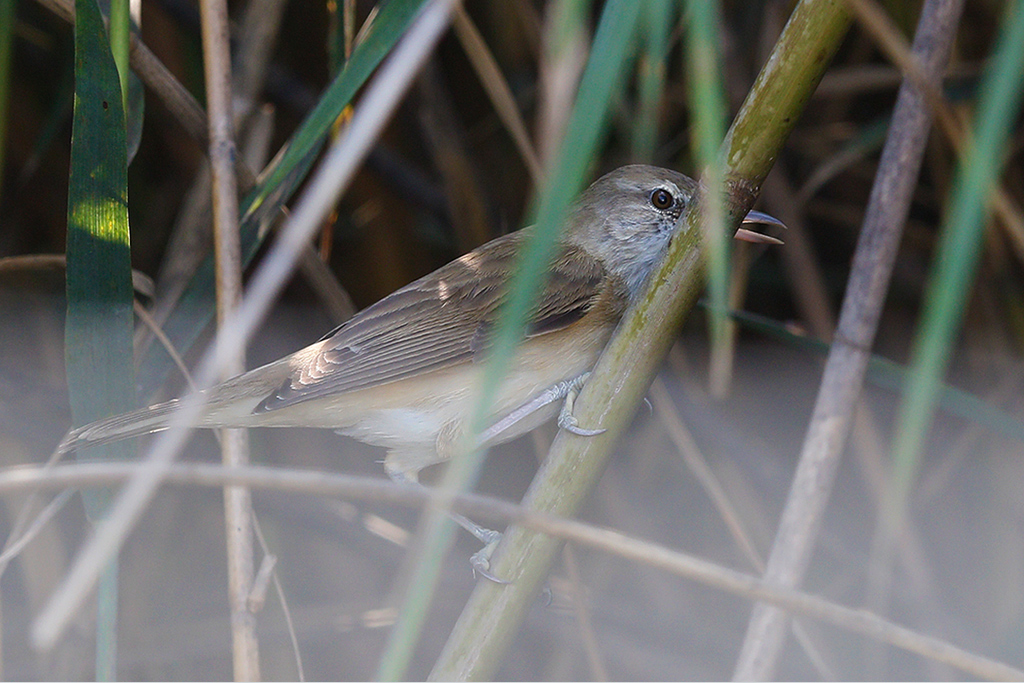 Great Reed Warbler / Crake Road, Zaagkuildrift to Kgomo Kgomo, South Africa / 31 January 2015