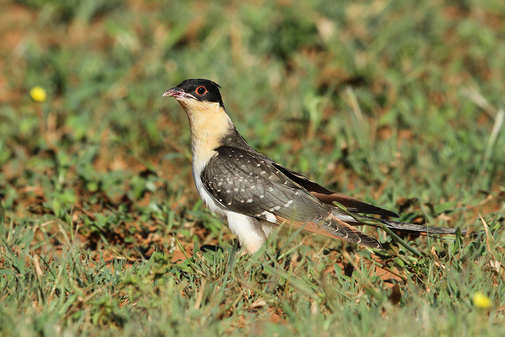 Great Spotted Cuckoo / Kgomo Kgomo, South Africa / 08 February 2014