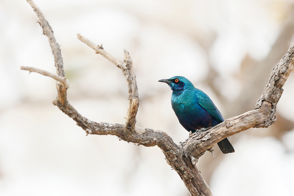 Greater Blue-eared Starling / Near Benoue National Park, Cameroon / January 2017