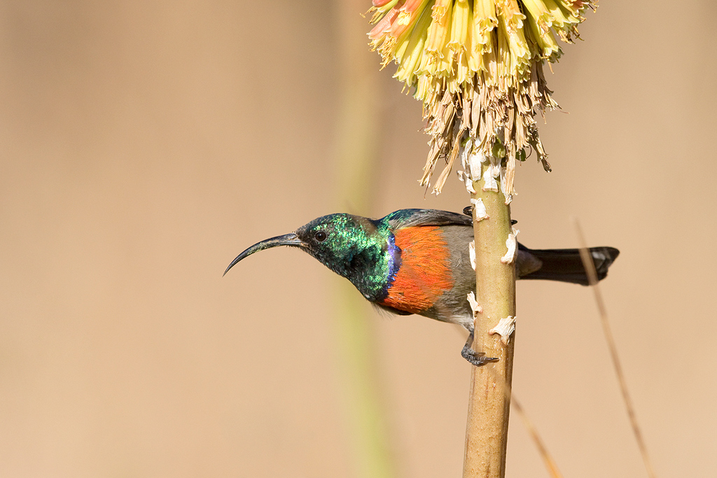 Greater Double-collared Sunbird / Walkersons Hotel & Spa, Dullstroom, South Africa / June 2015