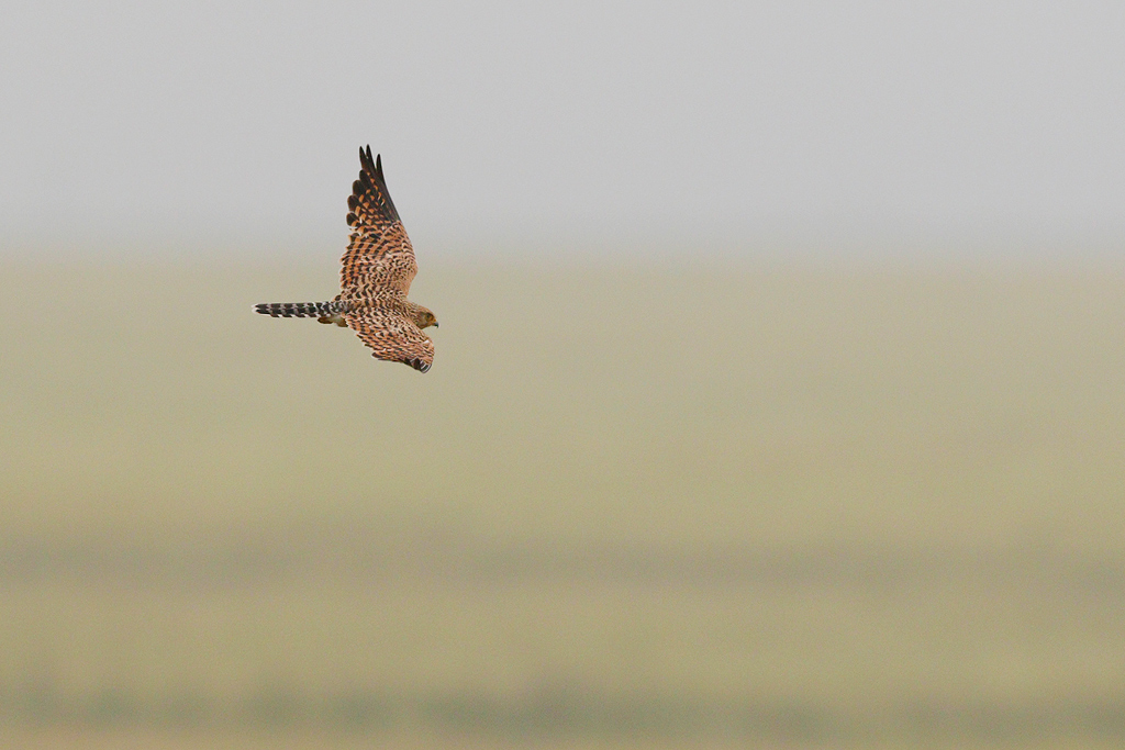 Greater Kestrel / Devon Roadside Routes, South Africa / 15 February 2015