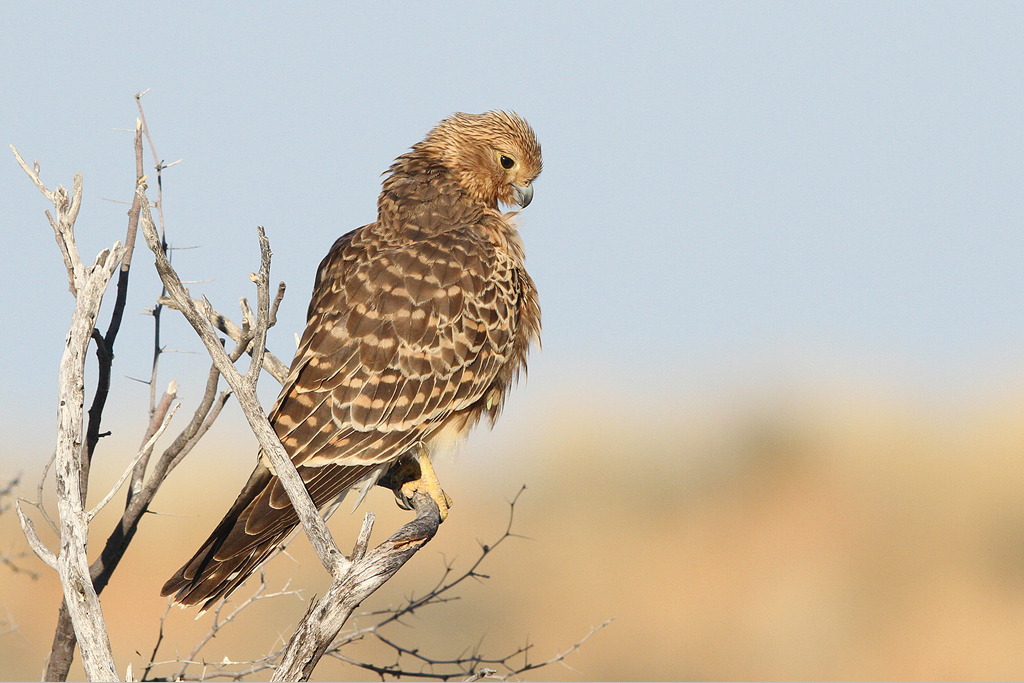 Greater Kestrel / Kgalagadi Transfrontier Park, South Africa / 16 June 2014