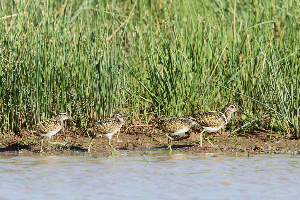 Greater Painted Snipe / Kgomo Kgomo, South Africa / 08 February 2014
