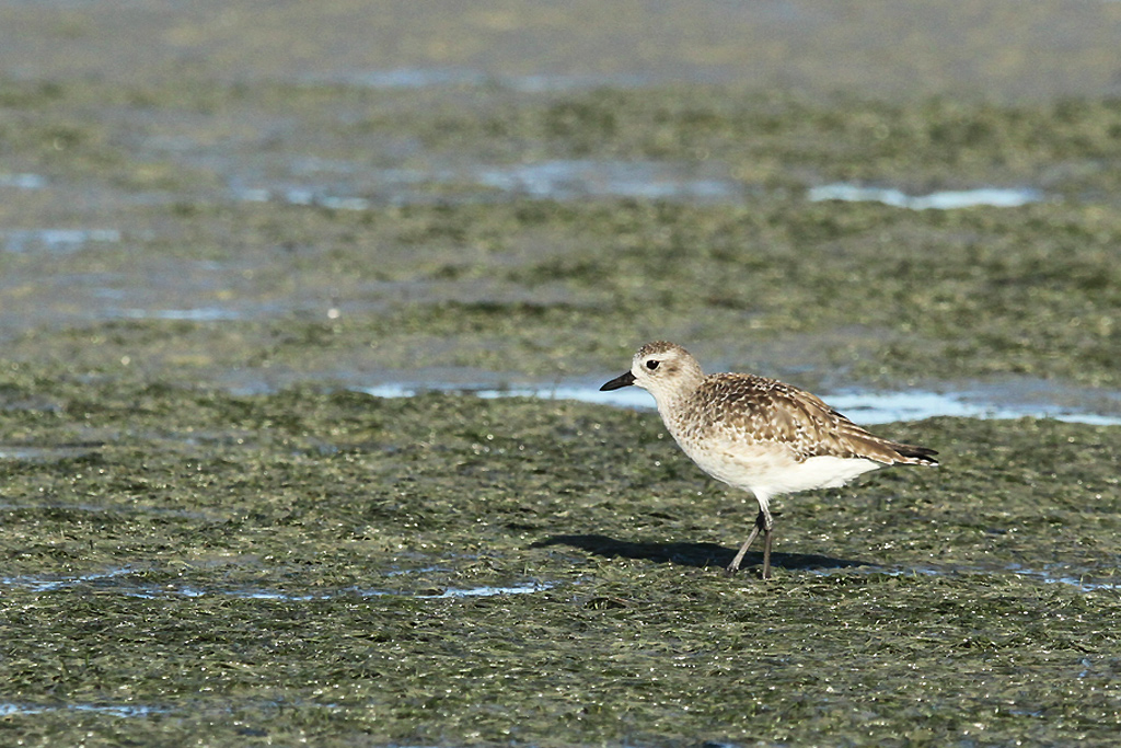 Grey-Plover / West Coast National Park, South-Africa / 28 January 2013