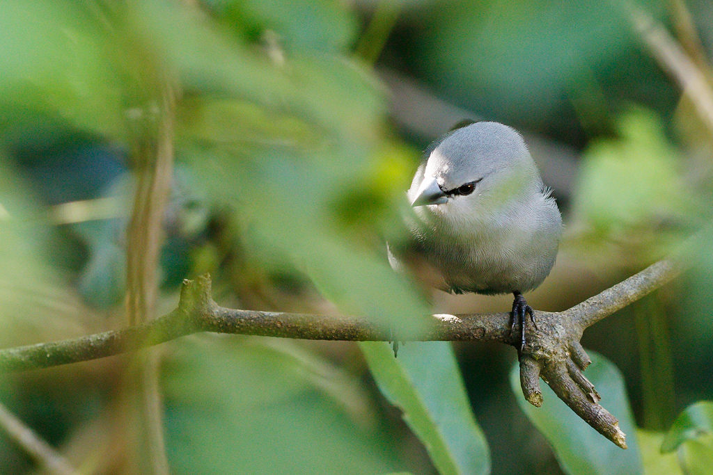 Grey Waxbill / Umdoni Forest, KwaZulu Natal, South Africa / 11 April 2015