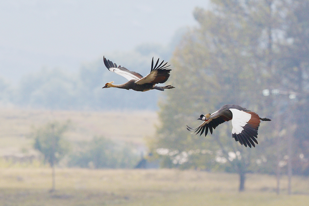 Grey-crowned Crane / Castleburn, Underberg, KZN, South Africa / 18 April 2015