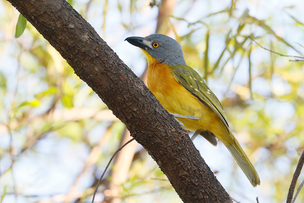 Grey-headed Bushshrike / Mabula Game Reserve, Waterberg, South Africa / January 2015